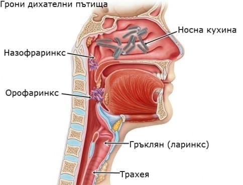 Нормална микрофлора на горни дихателни пътища - изображение