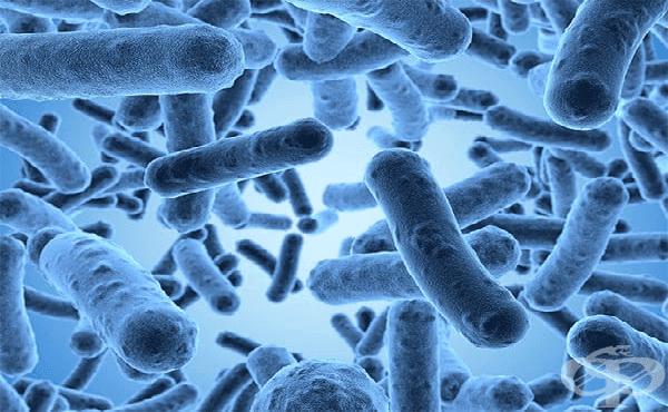 Ентеробактер (Enterobacter) - изображение