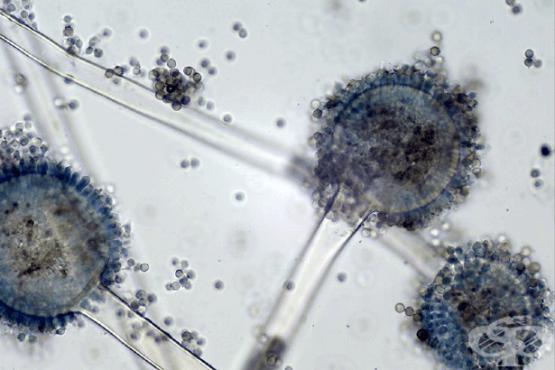 Аспергилус (Aspergilus) - изображение