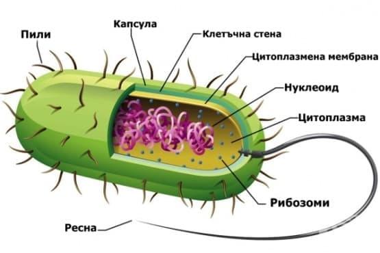 Вътреклетъчно устройство на бактериите - изображение