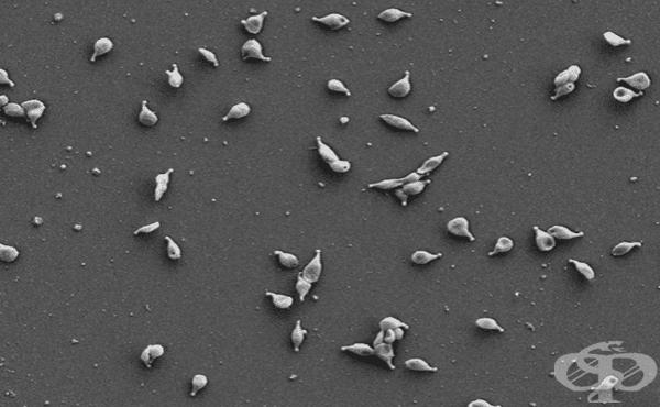 Микоплазми (Mycoplasma) - изображение