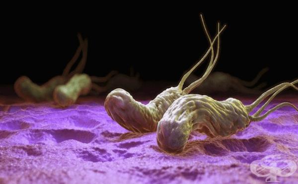 Хеликобактер (Helicobacter) - изображение