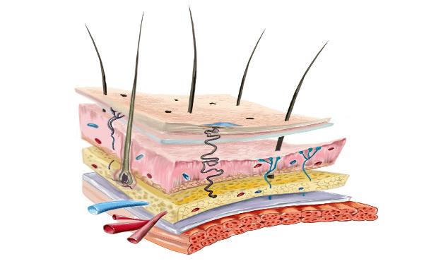 Защитна роля на кожата и лигавиците - изображение