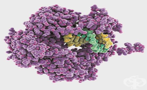Антигени - видове и свойства - изображение