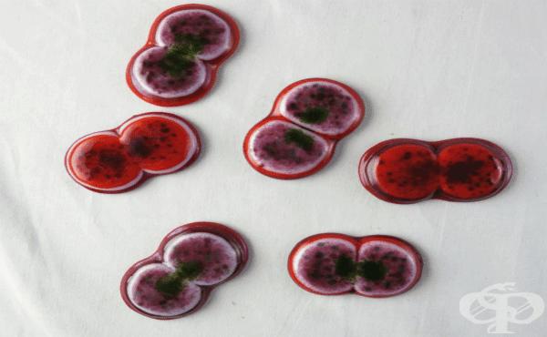Мораксела катаралис (Moraxella catarrhalis) - изображение