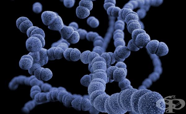 Пневмококи (Streptococcus pneumoniae) - изображение