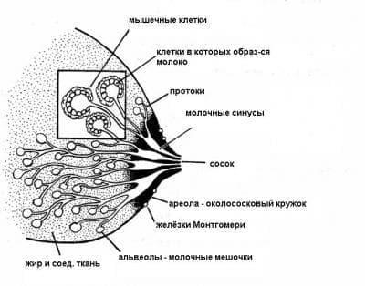 Възпаления на гърдата, свързани  с раждането МКБ O91 - изображение
