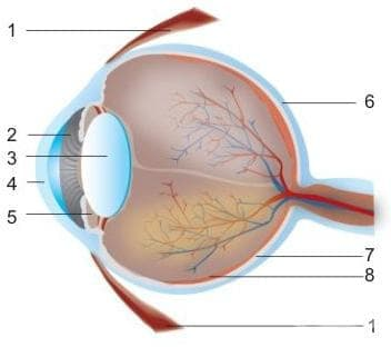 Злокачествено новообразувание  на окото и неговите придатъци МКБ C69 - изображение