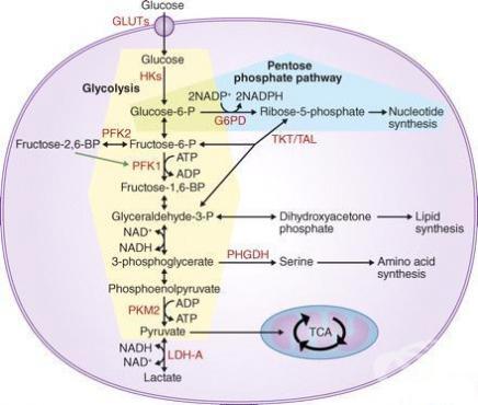 Анемия, дължаща се на нарушения на ензимите на гликолизата МКБ D55.2 - изображение
