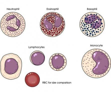 Други уточнени нарушения на белите кръвни клетки МКБ D72.8 - изображение