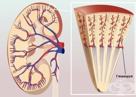 Гломерулни увреждания при болести, класифицирани другаде МКБ N08* - изображение