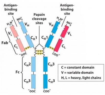 Имунодефицит с преобладаващ  недостиг на антитела МКБ D80 - изображение
