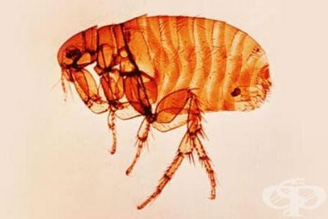 Чумен менингит МКБ A20.3 - изображение