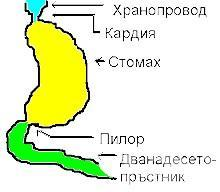Болести на хранопровода, стомаха и дванадесетопръстника МКБ K20-K31 - изображение