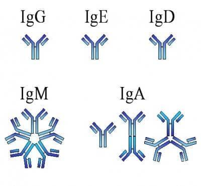 Имунодефицит с преобладаващ дефект на антитела, неуточнен МКБ D80.9 - изображение