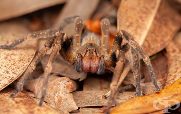 Отрова от паяк МКБ T63.3 - изображение