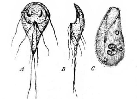Протозойна чревна болест, неуточнена МКБ A07.9 - изображение