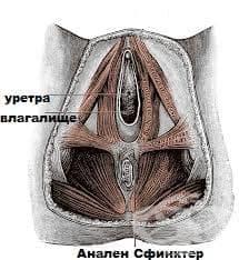 Разкъсвания на перинеума в хода  на раждането МКБ O70 - изображение