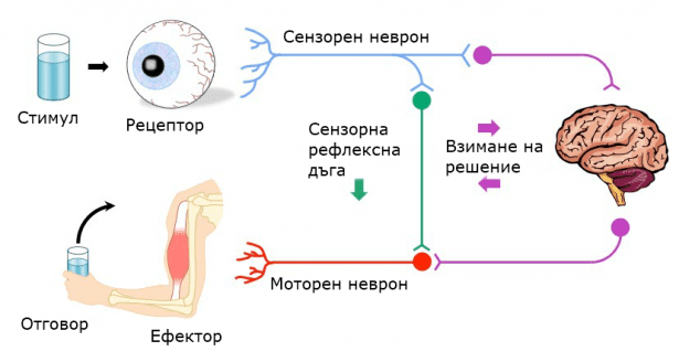 Анормален рефлекс МКБ R29.2 - изображение