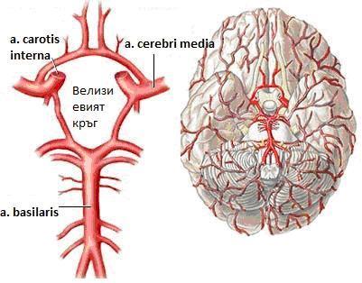 Оклузия и стеноза на церебрални артерии, които не са предизвикали мозъчен инфаркт МКБ I66 - изображение