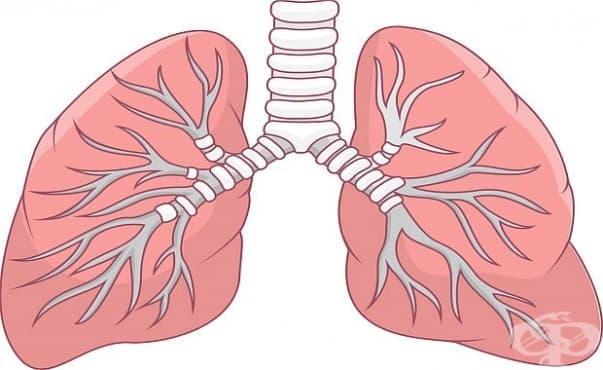 Изследователи успяха да трансплантират биоинженерни бели дробове - изображение