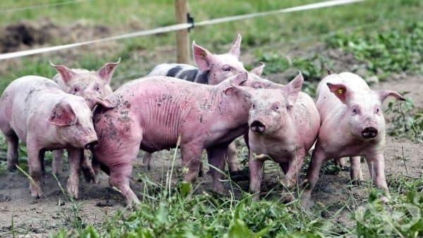 Забраниха продажбата на свинско месо по пазарите в цялата страна - изображение