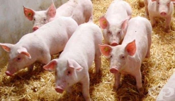 БАБХ с мерки против африканската чума по свинете, която вилнее в съседна Румъния - изображение