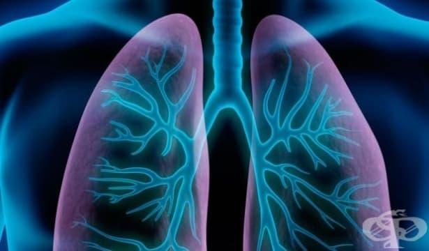 Учени направиха откритие, че белите дробове могат да произвеждат кръв - изображение