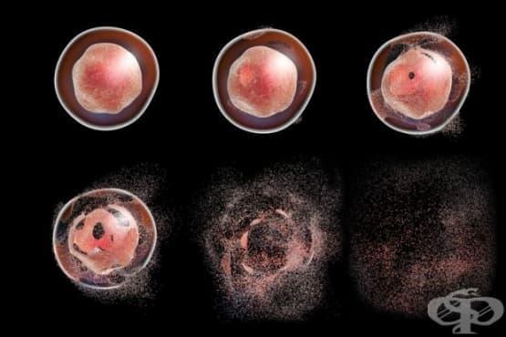 Измериха скоростта на клетъчната смърт - изображение