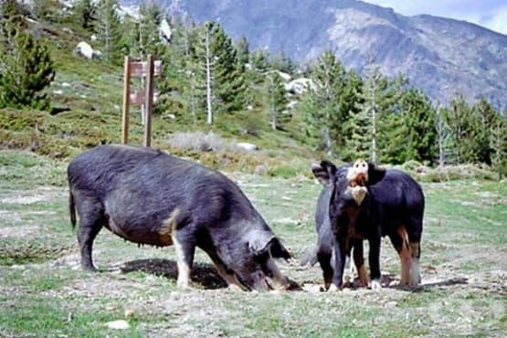 Констатираха случай на африканска чума по дивите свине в Добричко - изображение