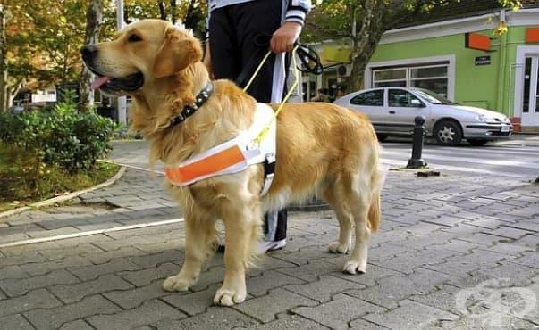 Обучават кучета да помагат на диабетици - изображение