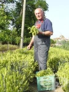 Свиленградчанин произвежда прочутия Мурсалски чай - изображение