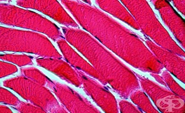Учени създадоха функционираща мускулна тъкан от кожни клетки - изображение