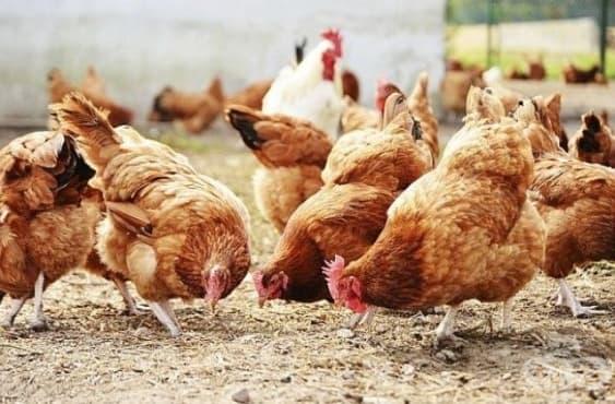 Няма опасност от епидемия от Нюкясълска болест по птиците - изображение