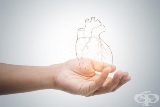 Учени създадоха миниатюрно сърце от стволови клетки, наподобяващо по структура и функции човешкото - изображение