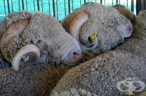 """До момента в област Кърджали от """"син език"""" са починали 2600 овце - изображение"""