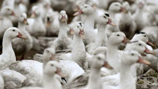 Потвърдиха инфлуенца по птиците хасковското село Войводово - изображение
