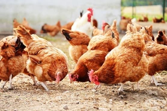 БАБХ констатира три първични огнища на птичи грип в областите Видин, Враца и Пловдив - изображение