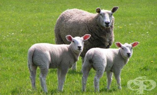 В област Габрово срещу болестта син език са ваксинирани 11 532 овце - изображение