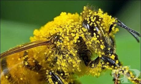Пчелен прашец - изображение