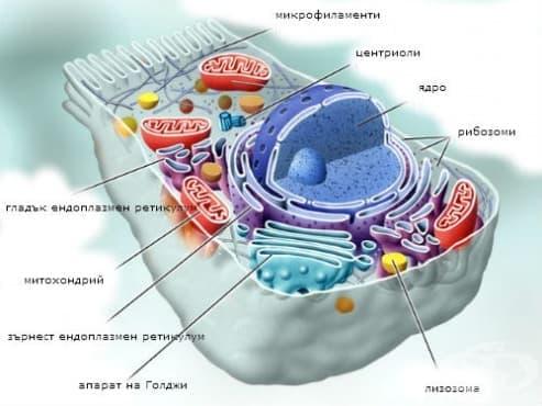 Патология на ендоплазмения ретикулум и митохондриите - изображение