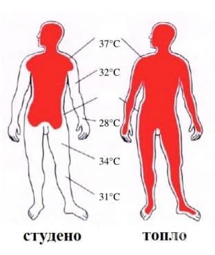 Физиологични механизми на терморегулация - изображение