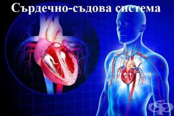 Устройство и функция на сърдечния мускул - изображение