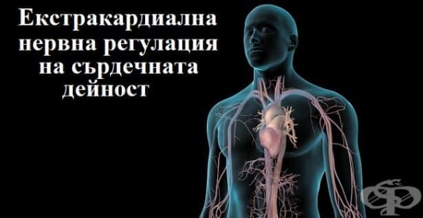 Екстракардиална нервна регулация на сърдечната дейност - изображение