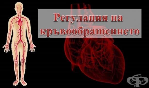 Регулация на кръвообращението - изображение