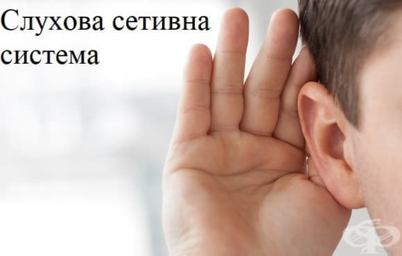 Слухова сетивна система - изображение