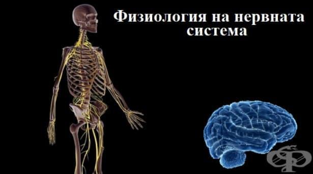 Физиология на нервната система - изображение