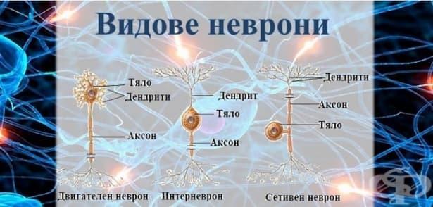 Видове неврони - изображение