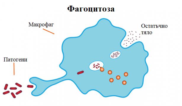 Фагоцитоза - изображение