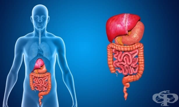 Инервация на гладката мускулатура и жлезите на храносмилателната система - изображение